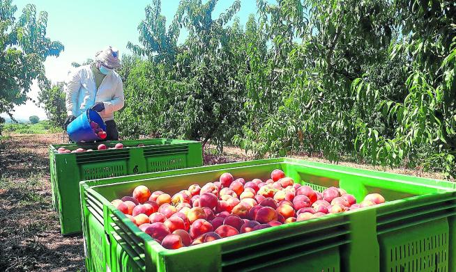 La campaña de recolección de la fruta fue la más afectada por los contagios de covid.