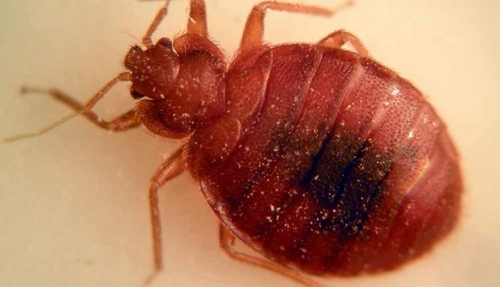 Las chinches de la cama prefieren la sangre humana y pueden estar más de un año escondidas sin salir a alimentarse.