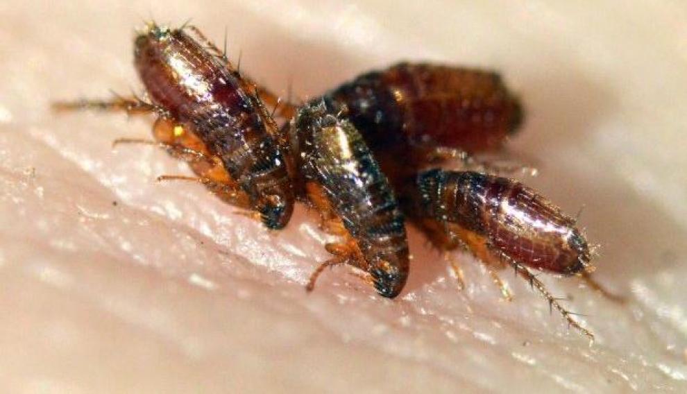 Las pulgas miden entre 1,5 y 3 milímetros y son fáciles de distinguir gracias a su cuerpo aplanado y su gran capacidad de salto.