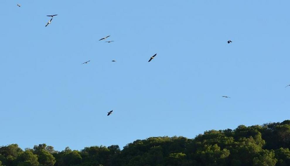 Un grupo de alimoches, volando sobre la zona que utilizan como dormidero.