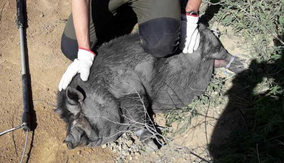 El cerdo vietnamita (en la imagen, un ejemplar capturado hace dos semanas en Mora de Rubielos) también acaba de ser incluido en el catálogo de especies invasoras, lo que conlleva las mismas prohibiciones que para la pitón real.