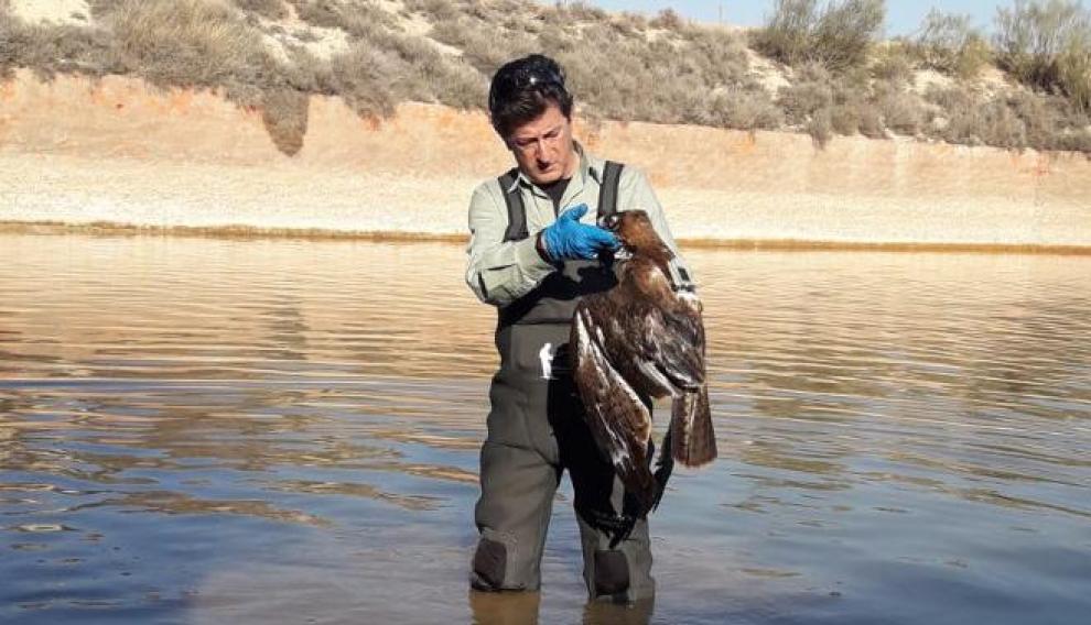 Ejemplar de águila perdicera encontrado muerto a principios de este año en una balsa de Épila. La necropsia determinó que había fallecido electrocutada en uno de los postes eléctricos cercanos.