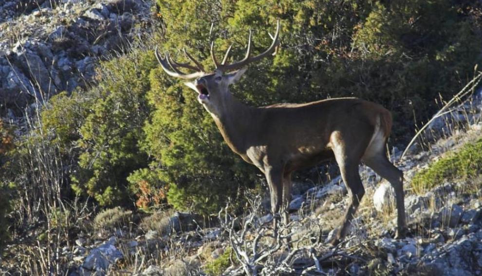 El Gobierno de Aragón ha creado una red de enclaves para la escucha y la observación de la berrea de los ciervos en la Reserva de Caza de los Montes Universales.
