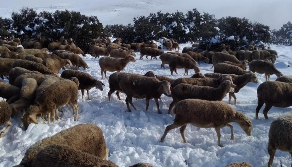 Un rebaño de ovejas intentando pastar tras la nevada en Argente (Teruel).
