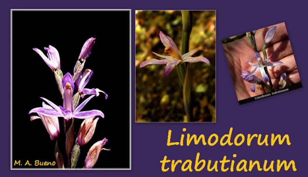 Limodorum Trabutianum, la orquídea descubierta en Huesca por Miguel Ángel Bueno