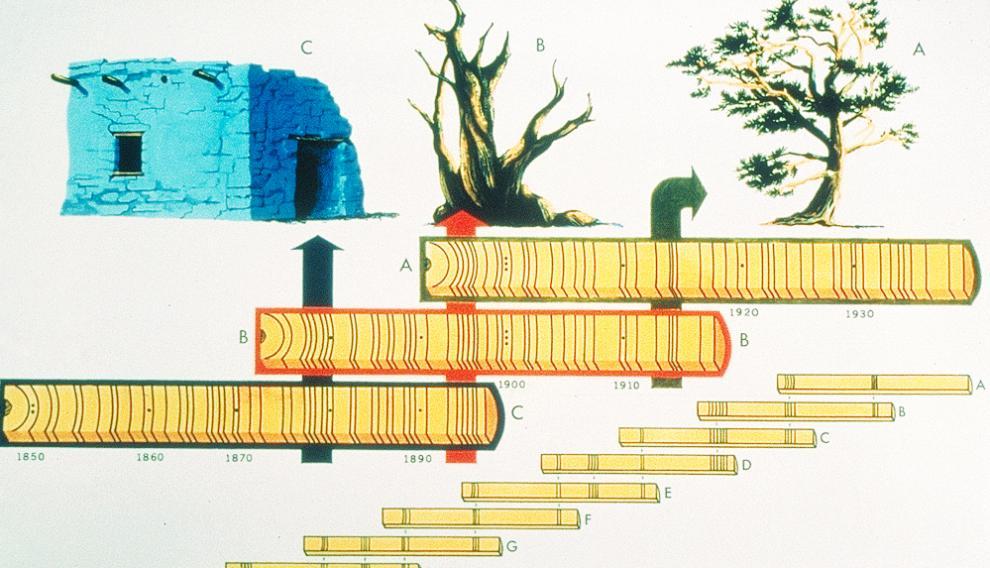 Combinando el registro dendrocronológico de troncos de árboles de distintas edades de un territorio se puede componer largas series temporales.