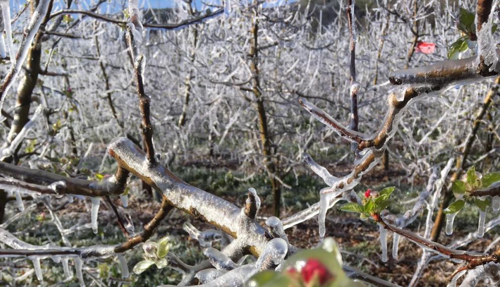 Brotes de un frutal en Calatayud amenazado por las heladas