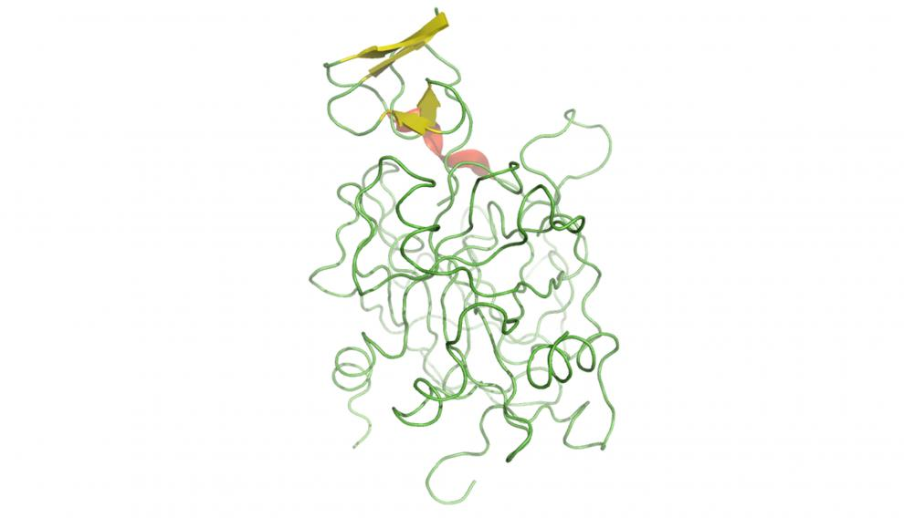 Hirudin trombina, proteína dúctil con algunos segmentos estructurados, previene la trombosis.