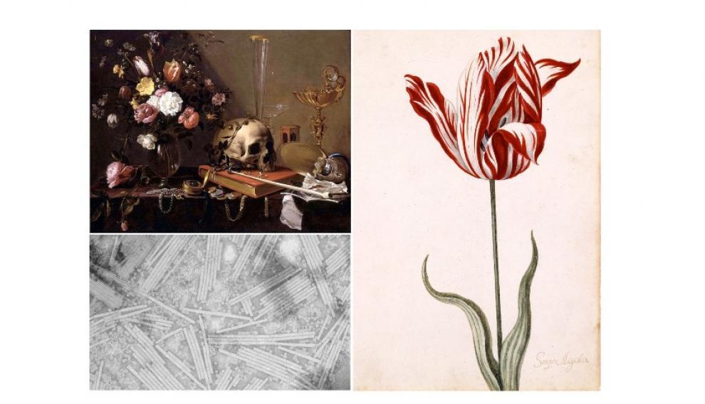'Naturaleza muerta con ramo de flores y calavera', vanitas de Adriaen van Utrecht (1642). Debajo, virus del mosaico del tabaco visto por microscopio electrónico. A la derecha, tulipán roto 'Semper Augustus'