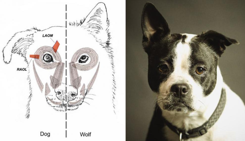 Musculatura facial del perro (izquierda y del lobo (derecha) en el dibujo realizado por el artista Tim Smith. Imagen de la derecha: Pixabay