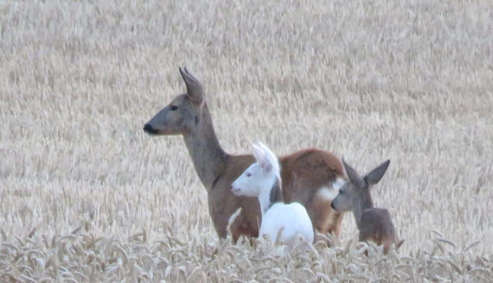 El animal estaba en un campo de trigo junto a su madre y otro corcino.