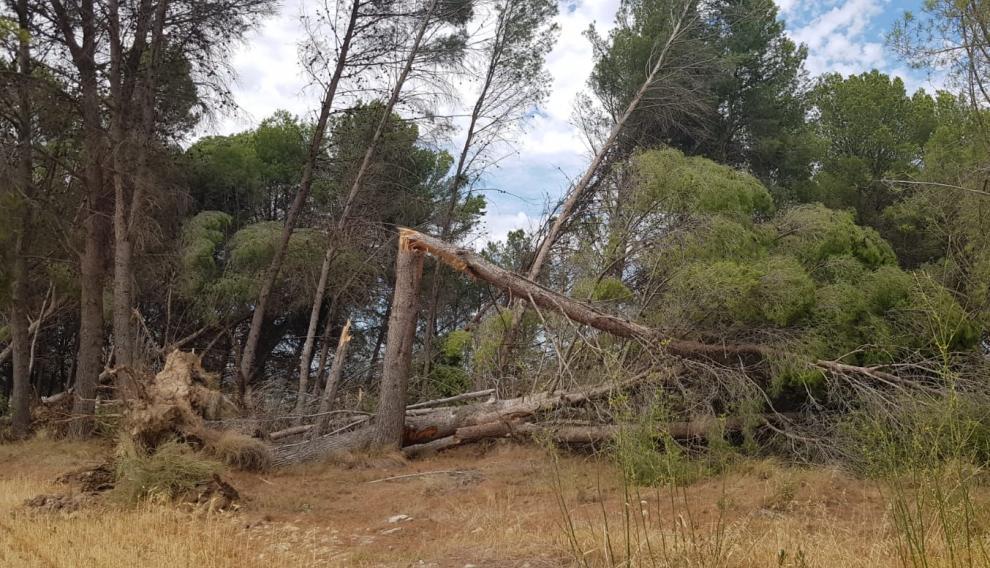 El viento tiró también varios árboles en las inmediaciones de Tauste.