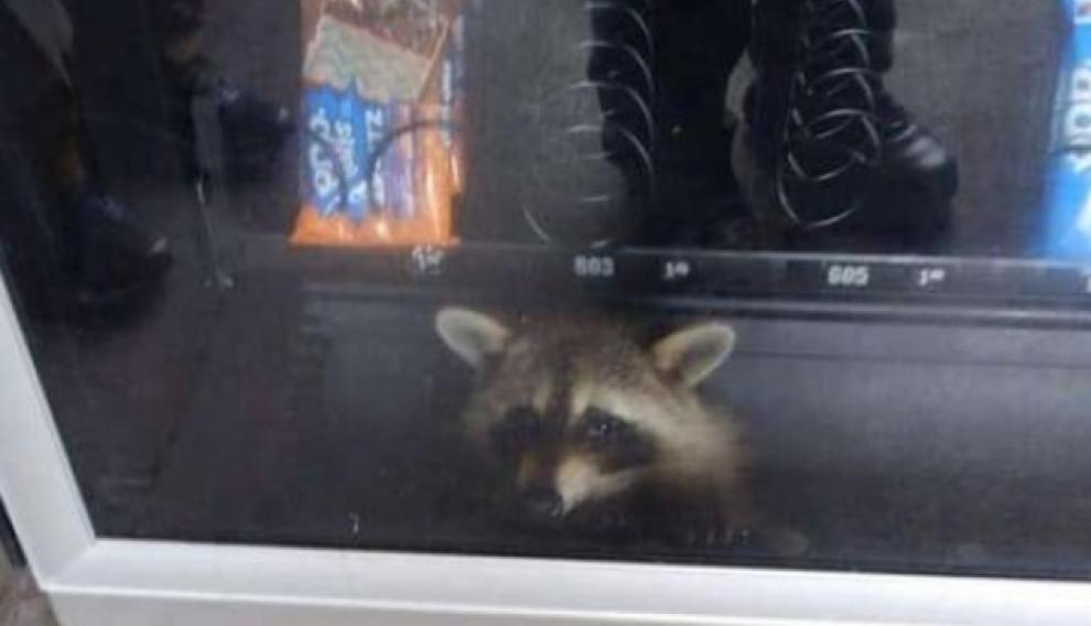 Entrar le fue fácil, pero salir fue una misión imposible para el animal.