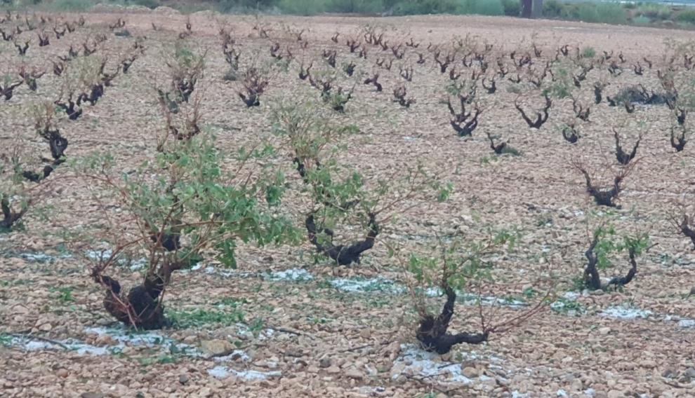 Así han quedado algunas viñas en Longares.