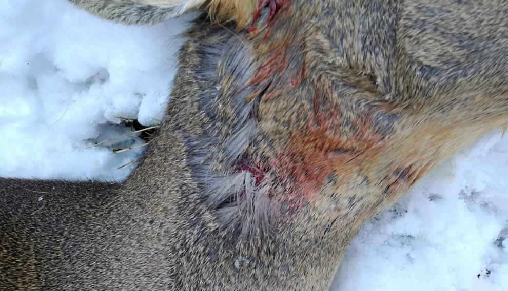 El corzo tenía heridas causadas por mordiscos en el cuello.