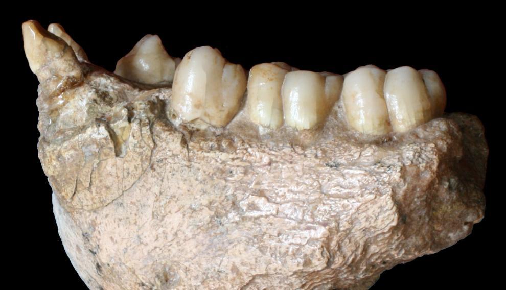 Fosil de los dientes del Gigantopithecus