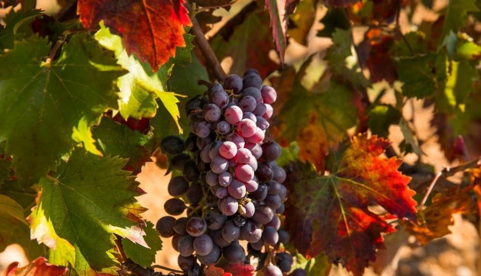 Uvas de la variedad tinta sumoll.