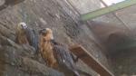 La pareja de quebrantahuesos, en sus primeros contactos en el Parque Zoológico del Eco Museo de Aínsa.