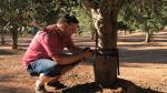 Frederic Sancho coloca un dendómetro en uno de los olivos de su finca.