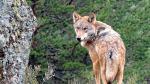 Ejemplar de lobo ibérico