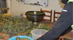 Desmantelada en Villarluengo (Teruel) la mayor plantación de marihuana de Aragón