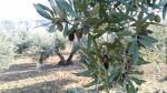 Oliete: apadrina un olivo, como Juan Antonio Corbalán
