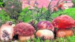 Boletus en su variedad pinophilus recién cosechados por el micólogo Ángel Leiva. Es una de las setas más populares en Aragón y que más se venden y cocinan.