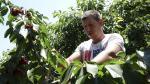 recogida y envasado de cerezas en una finca de Fraga /foto Patricia Puertolas/ [[[FOTOGRAFOS]]]