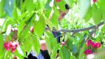 Un trabajador recoge cerezas en una explotación frutícola de La Almunia de Doña Godina (Zaragoza).