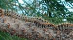 La procesionaria ataca especies coníferas, como pinos y anetos