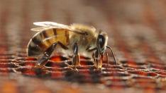 Una abeja en un panal.