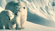 Osos polares de 'Nuestro planeta', de Netflix.