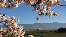 Andada popular para ver la floración del almendro en Ayerbe