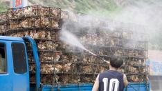 Un hombre rocía con desinfectante unos pollos que son llevados a un mercado de Pekín en 2006.