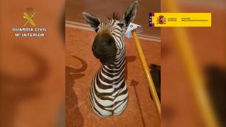 La Guardia Civil interviene más de 200 piezas disecadas de elefantes, leones y jirafas en Alicante