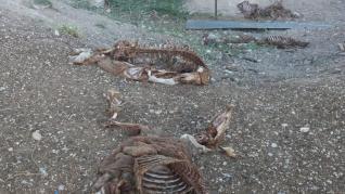 Un vecino de Tauste denuncia que un ataque de buitres mata a 25 ovejas