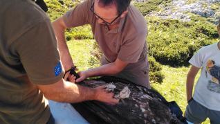Imágenes de los últimos quebrantahuesos 'aragoneses' liberados en los Picos de Europa tomadas con los animales ya en libertad, durante la suelta y durante el nacimiento.