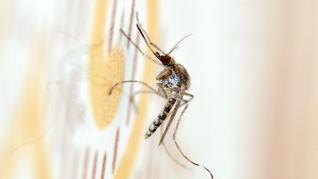 Mosquito 'Aedes caspius'