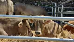 La Expoferia de Aínsa está dedicada a la ganadería y la agricultura.