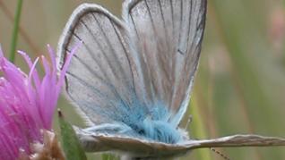 Un endemismo pirenaico (solo existe en el Pirineo): 'Agrodiaetus fulgens ainsae'.