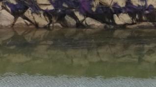 Algas moradas en el Canal de Aragón a su paso por Figueruelas.