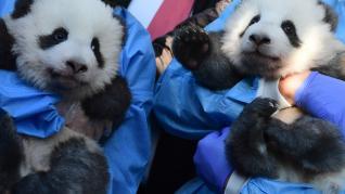 Dos trabajadores del zoo muestran a los dos osos panda recién nacidos durante la presentación oficial en Berlín.