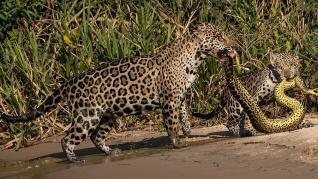 Un jaguar que acaba de capturar a una anaconda, de Michel Zoghzhogi's.