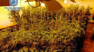 Desmantelan una plantación de marihuana en El Burgo y detienen a 5 personas.