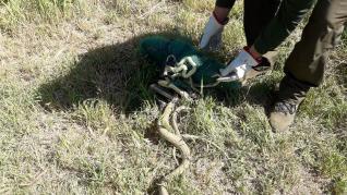 Cuatro serpientes liberadas por la Unidad Verde del Ayuntamiento de Zaragoza de la malla de un huerto urbano.