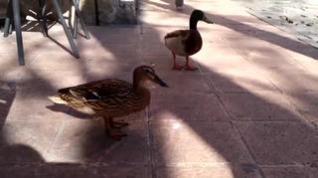 Una pareja de patos se instala en la plaza de la Magdalena de Zaragoza