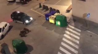 El Ayuntamiento de Graus organiza una batida contra los jabalíes