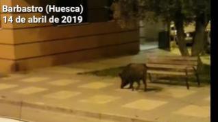 Un jabalí campa a sus anchas por las calles de Barbastro