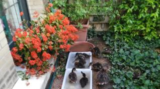 Los patitos nacieron en el patio ajardinado de una vivienda de la calle de José Canalejas.
