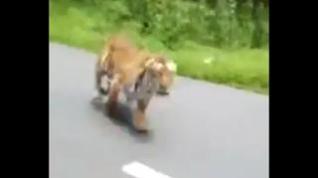 Un tigre de Bengala ataca a dos motoristas que se escapan por los pelos